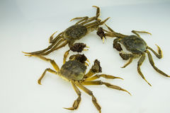 Live crabs Royalty Free Stock Photos