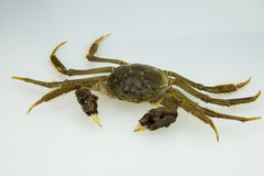 Live crabs Royalty Free Stock Images