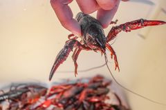 Live crawdad with pinchers stretched out held up by hand above blurred crayfish below - selective focus.  royalty free stock photos