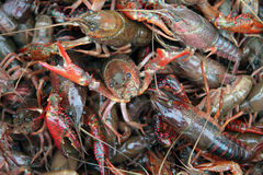 Live Crawfish Royalty Free Stock Photo