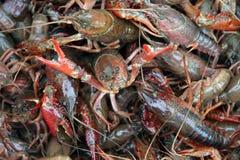 Live Crawfish Royalty Free Stock Photo