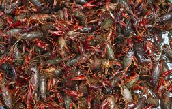 Live crawfish close up Stock Image