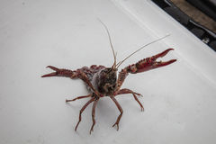 Live Crawfish på en Cajun Crawdadböld Arkivfoto