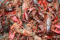 Live Crawfish, waiting to be put in a pot for boiling in Louisiana. Royalty Free Stock Images