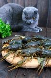 Live crawfish on a wooden tray in the foreground. A gray cat is looking at a fresh catch. Selective focus Stock Photography