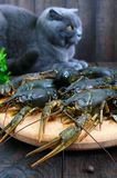 Live crawfish on a wooden tray in the foreground. A gray cat is looking at a fresh catch. Stock Photo