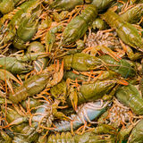 Live crawfishes Stock Photography