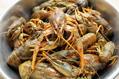 Live crawfishes in a metal bowl Stock Photos
