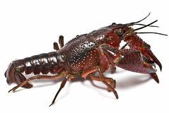 A live crayfish. A live crayfish isolated on a white background Royalty Free Stock Image