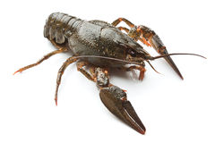 Live crayfish Stock Photography