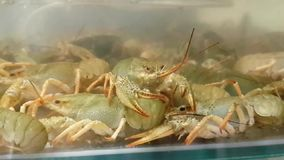 Live crayfish in aquarium. Crawfish in water. Live crayfish in aquarium. Delicious crustaceans seafood in muddy waters. Crawfish move their claws and feelers stock video footage