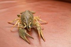 Live Crayfish auf einem Leder stockbilder