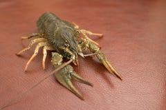 Live Crayfish auf einem Leder lizenzfreie stockfotos