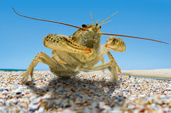 Live crayfish on the beach by the sea.  Stock Images