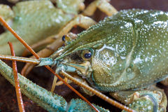 Live crayfish close up Stock Images