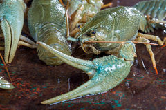 Live crayfish Royalty Free Stock Images