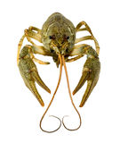 Live crayfish close up on a white background. Royalty Free Stock Images