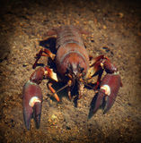 Live Crayfish, Crawfish, Crawdad. Live Crayfish crawling under the water stock image