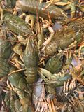 Live crayfish Stock Images