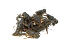 Live crayfish isolated on white background. Royalty Free Stock Photos