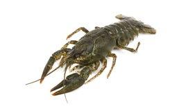 Live crayfish isolated on white background stock images