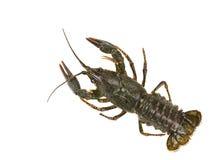 Live crayfish isolated on white background Royalty Free Stock Image