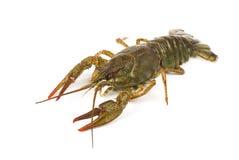 Live crayfish isolated on white background Royalty Free Stock Photography