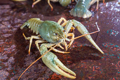 Live crayfish Royalty Free Stock Photo