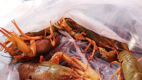 Live crayfish in plastic bag stock video