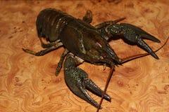 Live crayfish Royalty Free Stock Photo