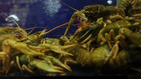 Live crayfish in a store for sale. Live crayfish in a shop for sale, cooking crayfish stock footage