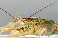 Live crayfish in the water close up. Royalty Free Stock Photos