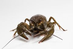 Live crayfish on a white background Royalty Free Stock Images