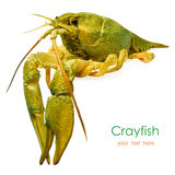 Live crayfish Stock Image