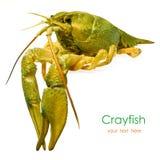 Live crayfish Stock Image