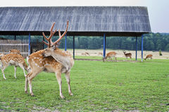 Live deer on the farm. Deer in the wild. A herd of deer on the farm stock photography