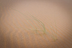 Live in desert. Green grass in dunes in Merzouga, Morocco Royalty Free Stock Photography
