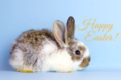 Live Easter bunny on a blue background royalty free stock photos