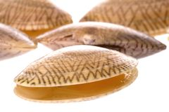 Live edible clams Royalty Free Stock Photo