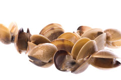 Live Edible Clams Isolated Stock Image