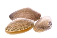 Live Edible Clams Macro. Isolated macro image of live edible clams commonly used in Malaysian cooking Stock Photography
