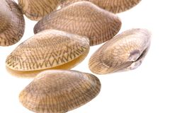 Live Edible Clams Macro Royalty Free Stock Images