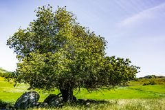 Live- Eiche Eiche agrifolia auf einem Hügel, Süd-San- Francisco Baybereich, San Jose, Kalifornien lizenzfreie stockfotos