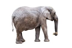Live elephant eat dry hay on white. Background royalty free stock photography