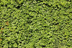 Live fence from green foliage. Background Royalty Free Stock Photo