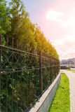 Live fence of tui trees. A sunny day in a country town Royalty Free Stock Images
