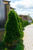 Live fence of tui trees. A sunny day in a country town Stock Photos