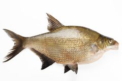 Live fish bream closeup. Isolated on white background Stock Photography