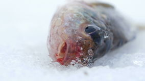 Live fish caught lying on the ice. Move the gills and mouth. Close-up.  stock footage