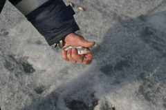 Live fish in the hands of the fisherman on winter fishing Royalty Free Stock Image